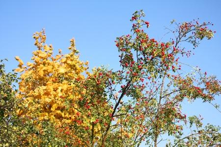briar bush: Rose hip shrub with red healthy fruits  Polish flora