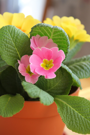 primula: Pink and yellow primrose flowers in the pot