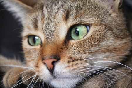 Close up of tabby cat face with green eyes photo