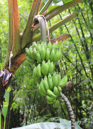 Unripe green bananas growing on the tree photo