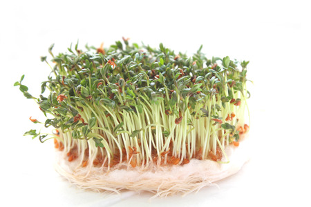 Green fresh garden cress sprouts over white background photo