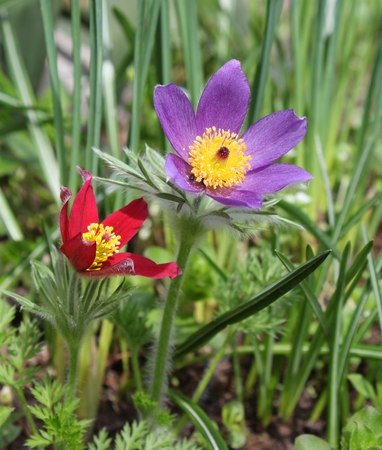 Early spring pasque flowers Pulsatilla growing in the garden photo