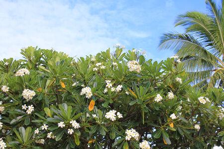 Plumeria Baum, Lei Frangipani-Blüten. Hawaii Lizenzfreie Fotos ...