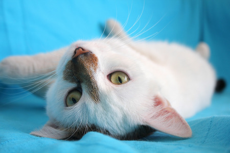 coverlet: White cat on blue coverlet relaxing and playing