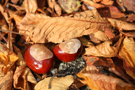 horse chestnuts: Horse chestnuts and autumn leaves Stock Photo