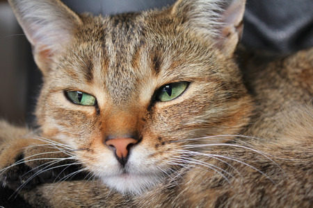 close up eyes: Close up of tabby cat face with green eyes resting