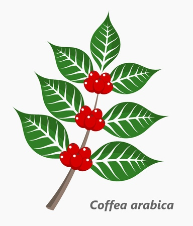 bush bean: Coffee plant. Vector illustration
