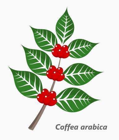 frijoles rojos: Planta de café. Ilustración vectorial Vectores