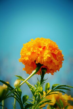 tagetes: Yellow Tagetes  flower. Retro style