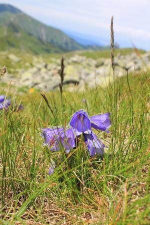 carpathian mountains: Alpine bell flower Campanula alpina in Tatra Mountains, Poland