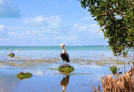 Everglades national park: Brown pelican at Everglades National Park swamps