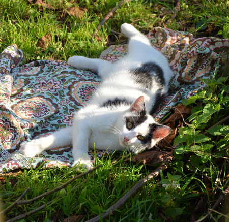 impish: Black and white lazy cat in the garden