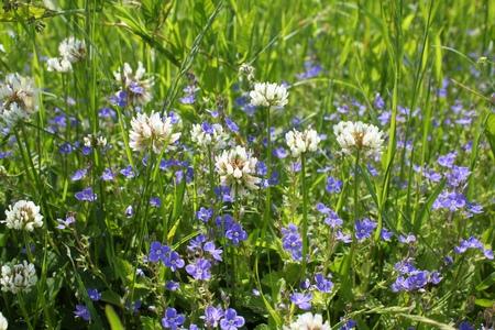 fiori di campo: Fiori sul prato