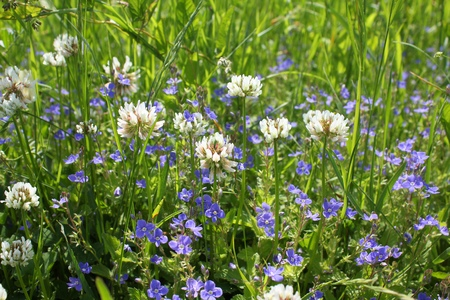 trifolium repens: Wildflowers on meadow