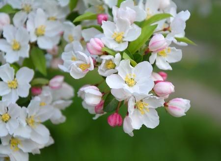 blooms: Apple tree blossom