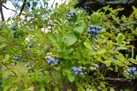 Highbush blueberry plant with fruits