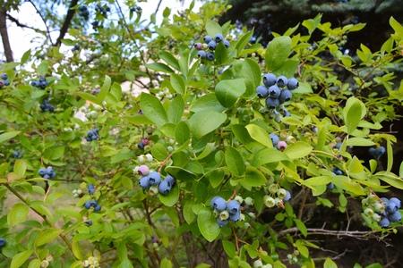 Highbush blueberry plant with fruits