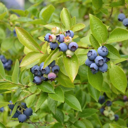 blueberries: Highbush blueberry plant with fruits