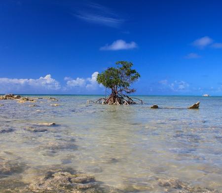 shallow water: Mangrove tree in shallow water of ocean. Eleuthera island, Bahamas