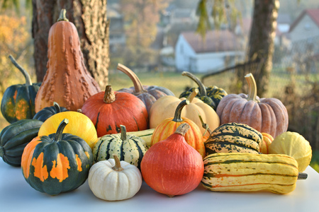thanksgiving food: Pumpkins and squashes autumn collection