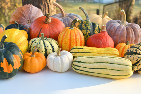 varieties: Pumpkins and squashes varieties collection. Outdoor shot