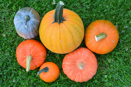 Pumpkins and squashes varieties. Fresh harvest
