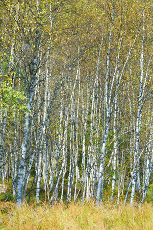 betula pendula: Birch trees forest in Poland in September