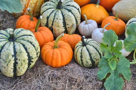 Autumn pumpkins on field. Fresh harvest