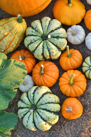 Decorative pumpkins and squashes in autumn garden Stock Photo