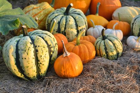Pumpkins and sqashes harvest