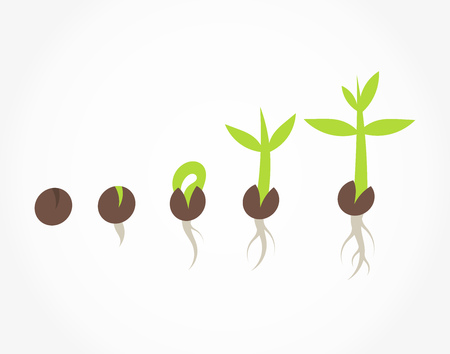 Plant seed germination process stages. Vector illustration Vettoriali