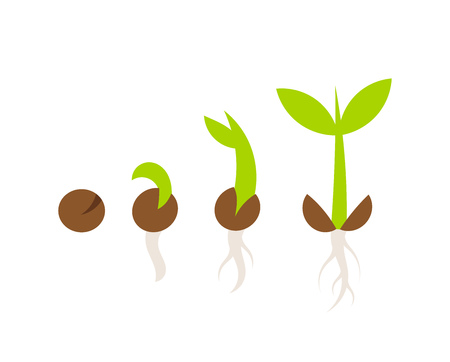 plant seed: Plant seed germination stages. Vector illustration Illustration