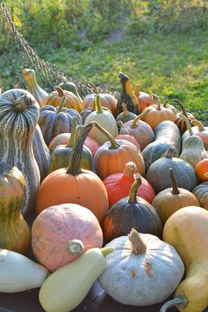 Autumn pumpkins and squashes varieties harvest