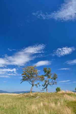 Two trees growing on the hill, blue sky