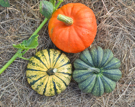 Three winter squashes and pumpkins harvested and collected in the garden. Top view