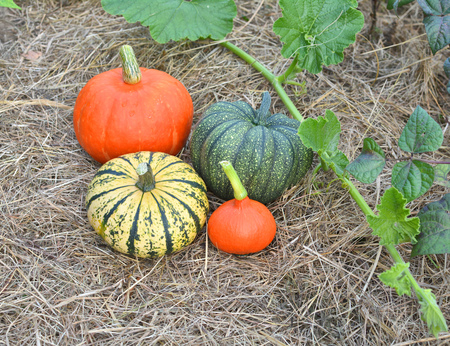 Winter squashes and pumpkins harvested and collected in the garden