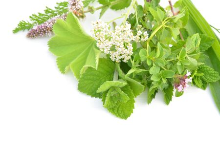 alchemilla: Fresh green herbs bunch isolated on white background