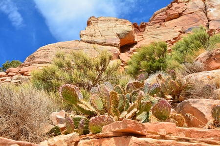 Vegetation of the Grand Canyon, cactus plants growing on the rocks inside the canyon Imagens