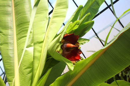 Banana plant with flower in glasshouse. Imagens