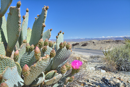 Opuntia basilaris known as beavertail cactus or beavertail prickly pear blomming by pink flowers at Mojave dessert. USA natural landscape.