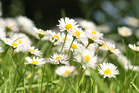 White daisies Bellis perennis flowers blooming in the grass lawn in the garden.