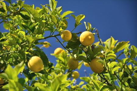 Lemon tree growing in California garden. Blue sky.