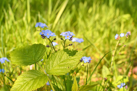 Forget me not wild flowers growing in grass. Spring sun light.