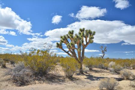 Joshua tree, endemic species growing at Mojave National Preserve.