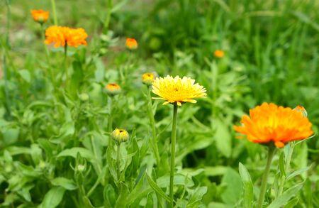 Orange calendula flowers growing in herbal garden.