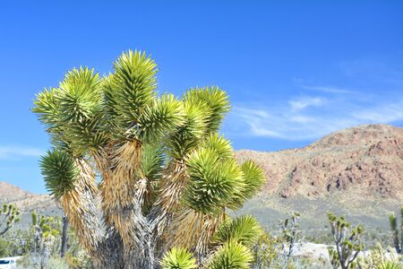 Joshua tree (Yucca brevifolia) close up, endemic species at Mojave National Preserve. Teutonia Peak Trail. 免版税图像