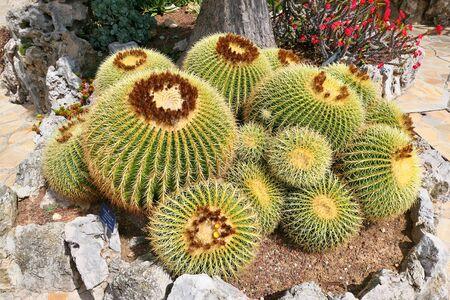 Large golden barrel cactus growing in the exotic garden. Echinocactus grusonii. Imagens