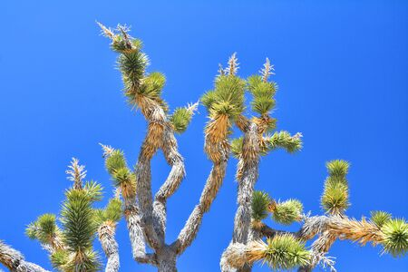 Joshua tree branches with flowers on the top over blue sky. Imagens