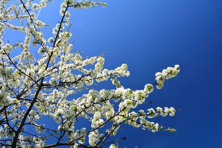 Spring white sweet cherry blossom on tree branch over blue sky.