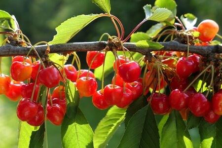 Sunny branch of healthy sweet cherries fruits. Summer time harvest.